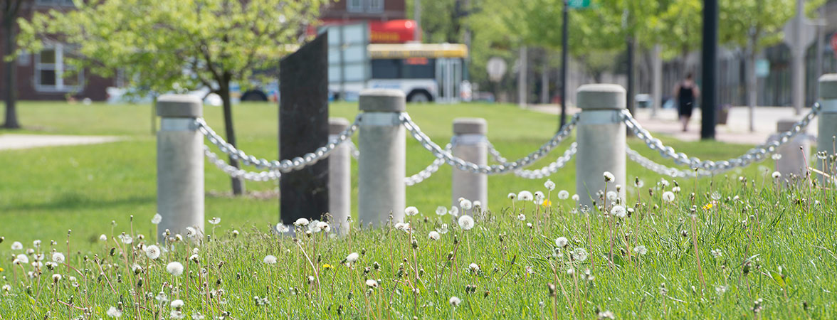 Dandelions in downtown Kenosha
