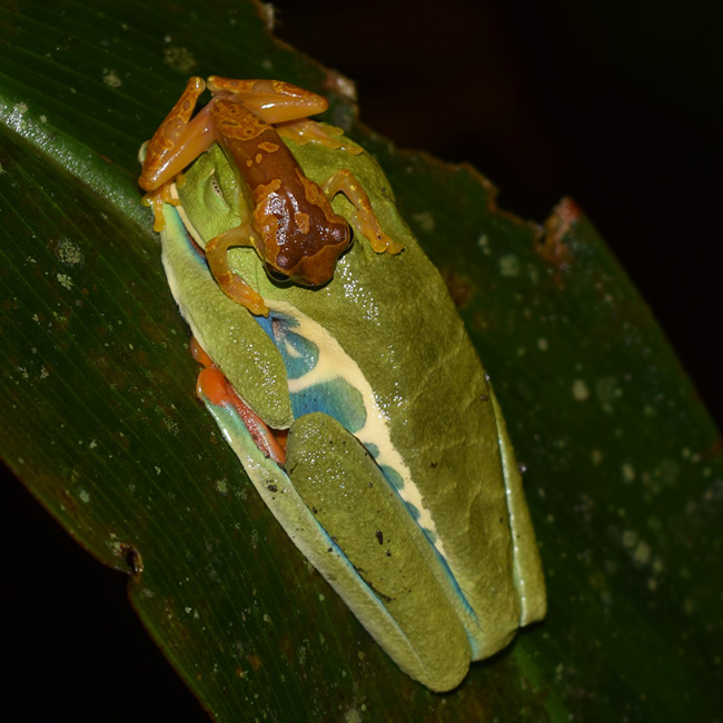 male Harlequin Frog sits atop a female Red-eyed Treefrog