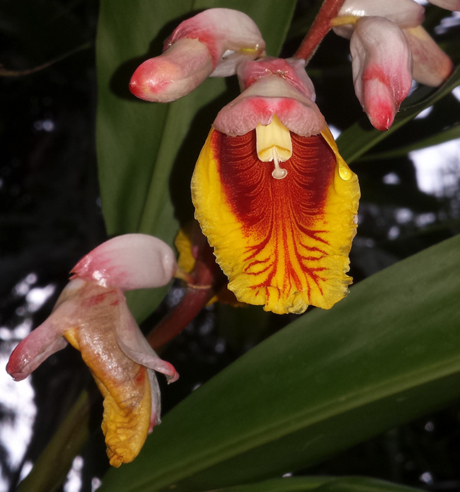 Image of a pink, yellow and red orchid type flower in Costa Rica